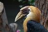 Papua-Hornvogel (Zoo Heidelberg)