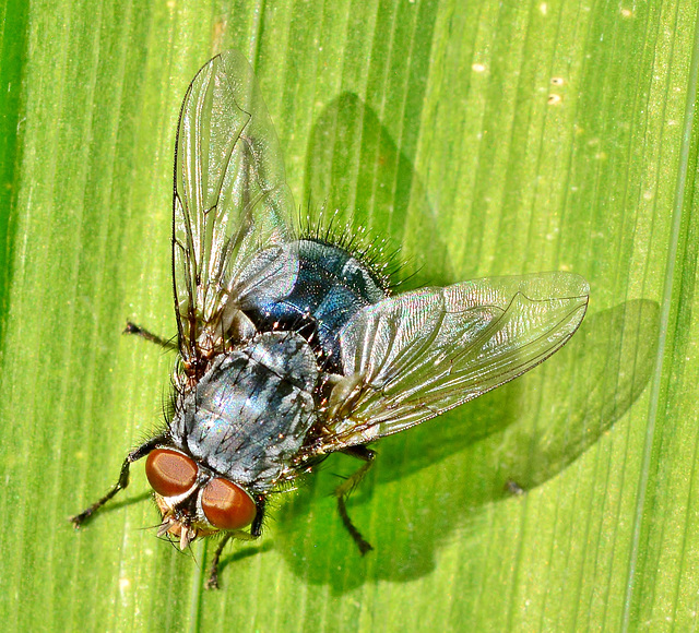 Bluebottle,Blow Fly. Calliphora vomitoria