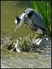 watchful grey heron
