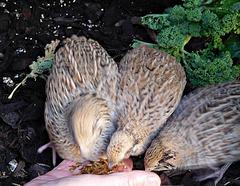 Quails feeding