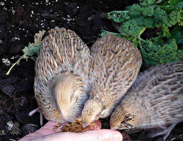 Quails feeding