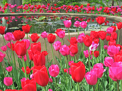 Tulip Pool