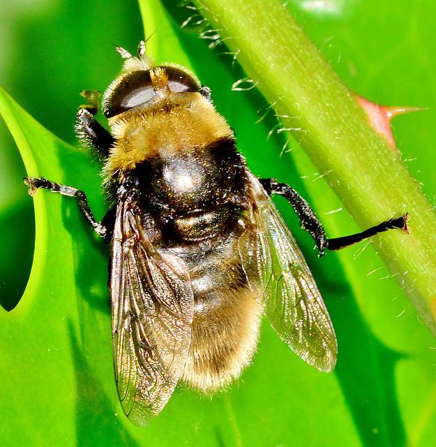 Hoverfly. Volucella bombylans