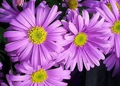 Blüten 2-3 cm