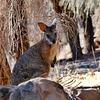 P1270420- Wallaby Tammar, Ironstone Hill Hike - Kangaroo Island.  10 mars 2020