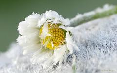 Daisy in Winter Cloth...