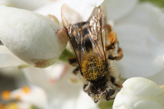 belle abeille  de Loire Atlantique