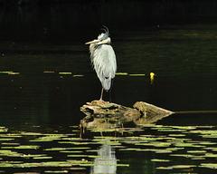 Blue heron on rock