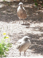 Two of the chicks walking around the drive