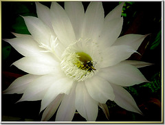 Königin der Nacht (Echinopsis) mit nächtlichem Besucher. Queen of the night (Echinopsis) with nocturnal visitor. ©UdoSm