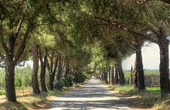 Memories of Tuscany: Boulevard of Maritime Pines