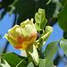 Tulip Poplar Tree -1