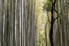 La forêt de bambous (4)