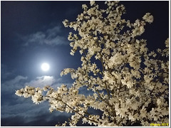 Easter moon and blooming magnolia