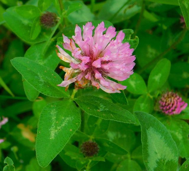Petite fleur des champs******Trèfle*******