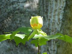 Tulip Poplar Tree -2