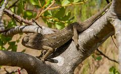 Camaleão-comum (Chamaeleo chamaeleo).