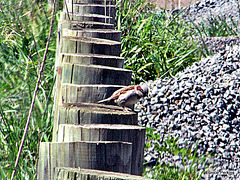 Sparrow on Fence Posts