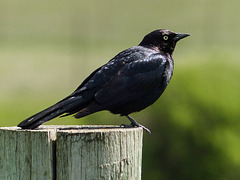 Brewer's Blackbird / Euphagus cyanocephalus
