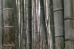 La forêt de bambous (5)