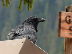 Common Raven at Bow Lake