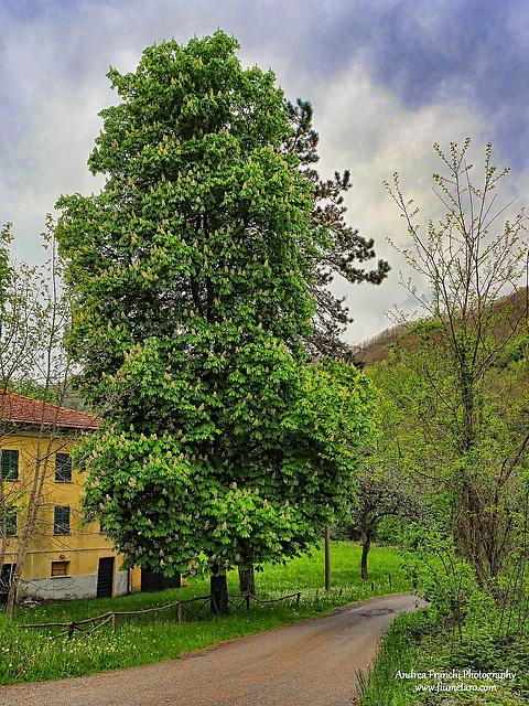 Ippocastano in Val Taro