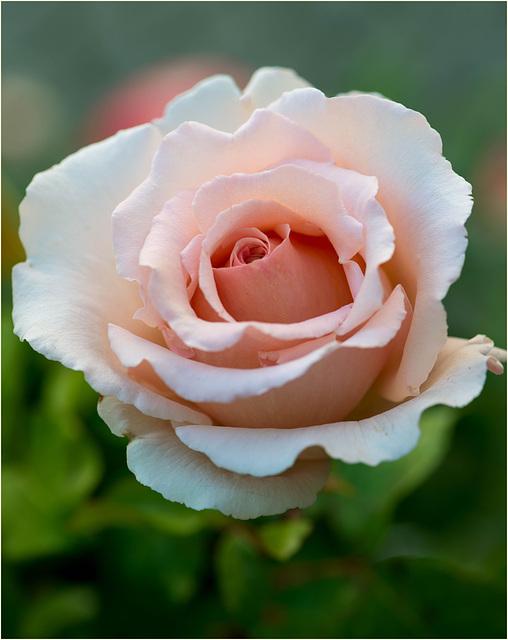 Macro sur une belle rose...