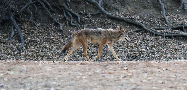 griffith park coyote