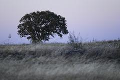 Thirsty Land poetry at nightfall, Azinheira (Quercus ilex)