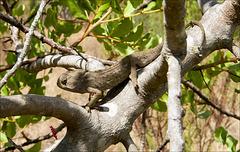 Camaleão-comum (Chamaeleo chamaeleo)