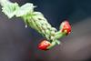 Knospen am Natal-Flaschenbaum (Wilhelma)