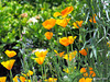 Californian Poppies.