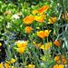 Californian Poppies.