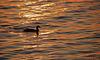 Duck in Hot Water
