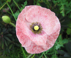 Pink and Pretty Poppy by My Lovely Wife (Explored)