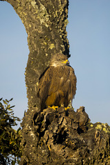 Black Kite Hiding in Plain Sight