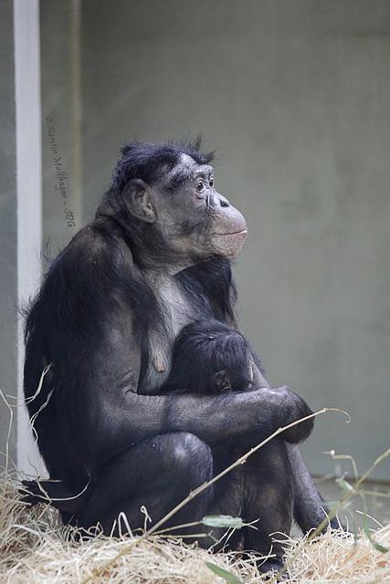 Chimba mit Kind (Wilhelma)