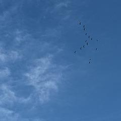 Sandhill Cranes, high overhead