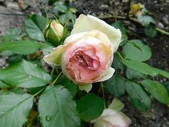 Une rose pour PAM Johnson