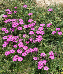Dianthus pavonius - Blühende Pfauen-Nelken.