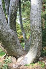 Le pin Bunge (Pinus bungeana) du Parc de la Tête d'Or, Lyon, Rhône (France)