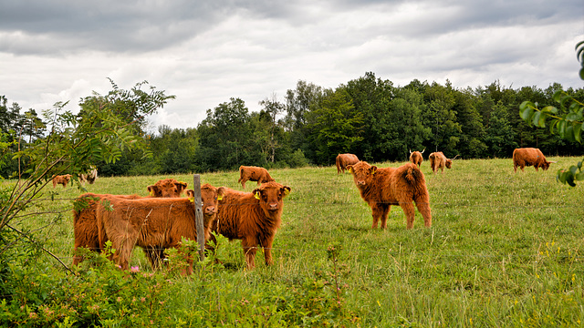 Highland calves in pasture