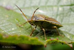 Piezodorus lituratus (Gorse Shieldbug)