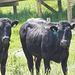 Cow Stare!