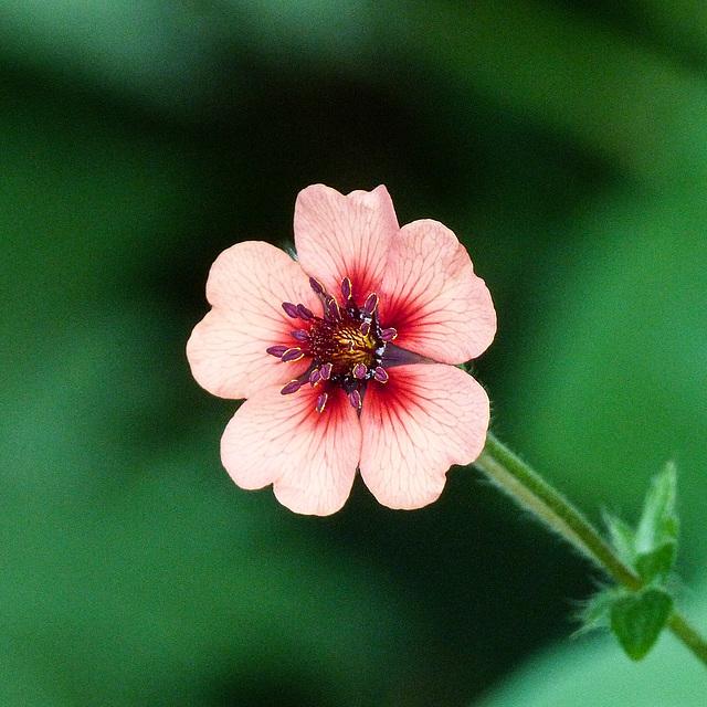Potentilla nepalensis, 'Miss Wilmott'