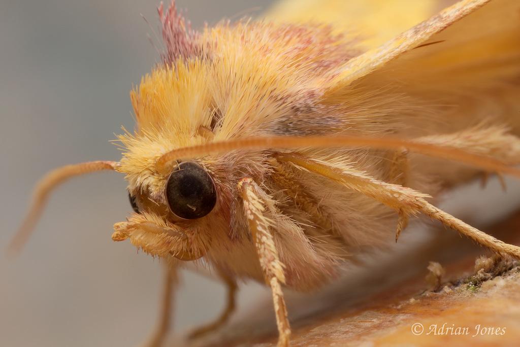 Tiliacea aurago (Barred Sallow)
