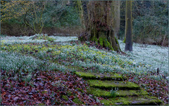 Zelden zoveel Sneeuwklokjes gezien als bij landgoed De Wildenborch in Vorden!