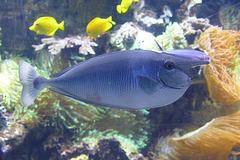 Langnasen-Doktorfisch