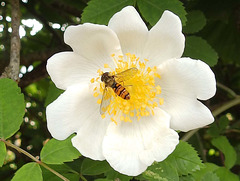 Hoverfly on Dog Rose.