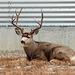 Handsome Mulie buck